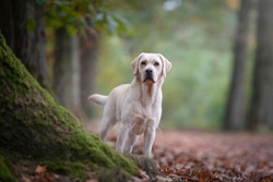 Pretty yellow labrador retriever standing in a forest lane