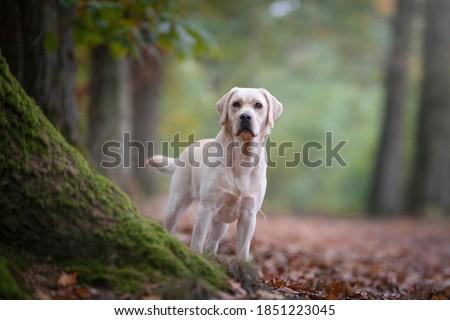 Pretty yellow labrador retriever standing in a forest lane Zdjęcia stock ©