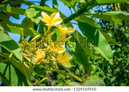 Pretty yellow plumeria or frangipani flowers on the tree in a tropical garden in a close up view