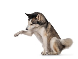 Pretty young adult Husky dog, sitting side ways. One paw up, head down. Isolated on a white background.