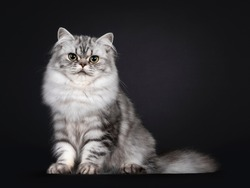 Pretty young black silver blotched British Longhair cat, sitting up side ways. Looking to camera. Isolated on black background.