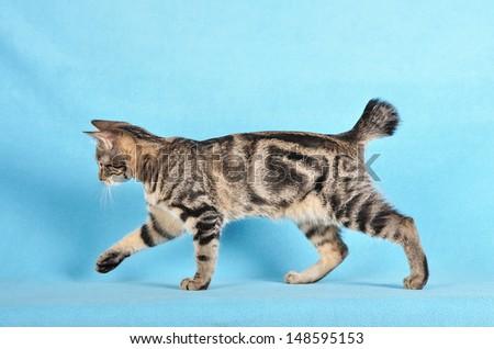 Pretty young cat kurilian bobtail, studio shot