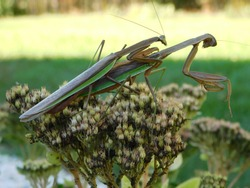 Preying Mantis Mating on Top of Flower in the Sunny Bright Garden