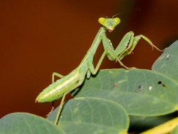 Preying mantis on Sesbania grandiflora leaves in Udonthani, Thailand