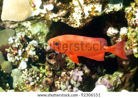 Priacanthe fish of Red Sea