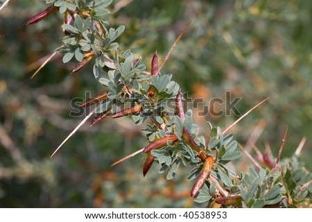 external image stock-photo-prickly-acacia-bushes-very-sharp-shypy-40538953.jpg