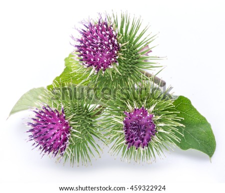 prickly heads of burdock...