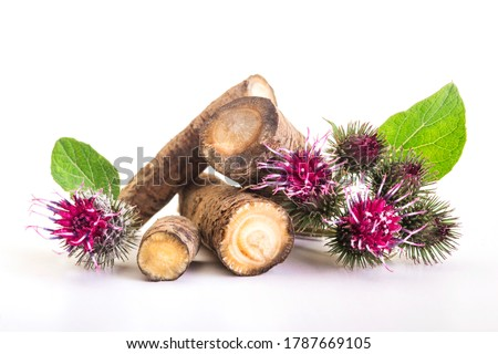 Prickly heads of burdock flowers on a white background. Burdock roots isolated white background. Treatment plant. Isolated on white.
