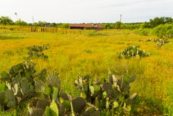 Prickly Pear and Bitter Weed Blanket Pastures of Run Down Ranch in Central Texas