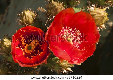 prickly pear cactus blossoms blooming in the spring