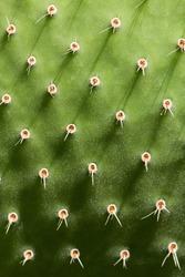 Prickly Pear Cactus Close up.