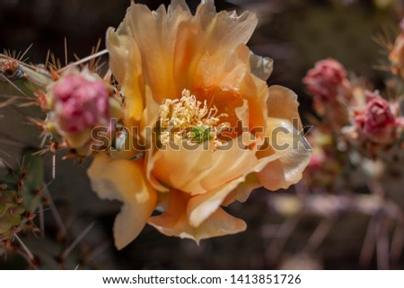 Prickly Pear Cactus in bloom near Tucson, Arizona.