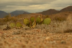 Prickly Pear cactus near Big Bend National Park in West Texas