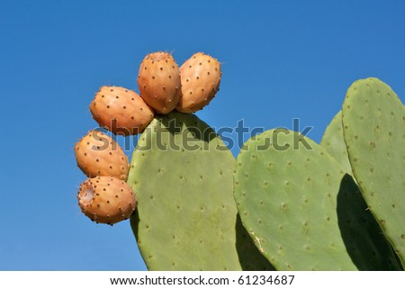 Prickly pear cactus plant and fruit against blue sky.