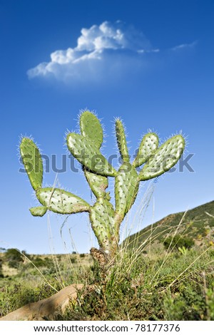 Prickly pear cactus plant in a field
