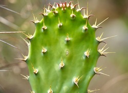 Prickly pear Cactus plant with spiky needle spines in the body part of the stem. Poisonous species of Cacti.