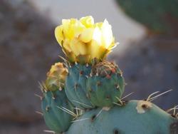 Prickly pear cactus succulent flower macro