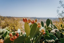 Prickly pear cactus with fruits in a beautiful landscape in Sicily, by the Mediterranean Sea