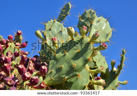 prickly pear cactus with fruits with blue sky as background