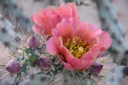 Prickly Pear Cactus with Pink Flowers