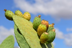 Prickly pear cactus with prickly pears and prickly pear fruits against a blue sky with clouds in Sicily