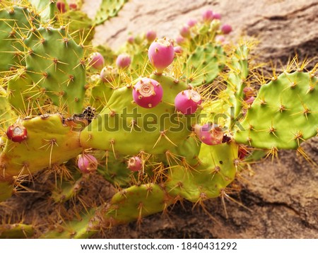 Prickly pear cactus with the fruit in its natural state. Prickly pear close up. Opuntia Prickly pear fruit. Nopales with thorns and red tunas.