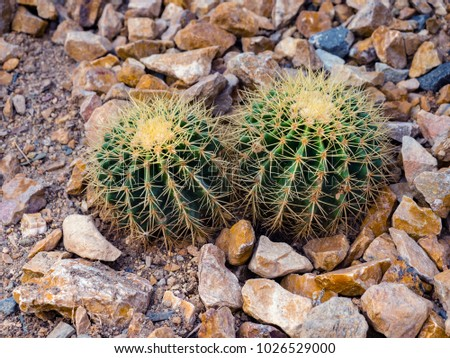 Prickly pear image #1026529000