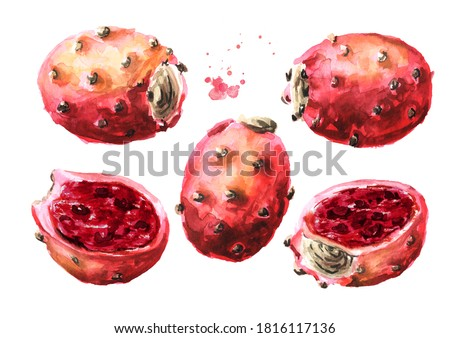 Prickly pear or Indian fig opuntia red fruits. Watercolor hand drawn illustration, isolated on white background