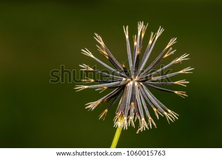 prickly pear seeds extreme close up, Bidens pilosa seeds macro photo