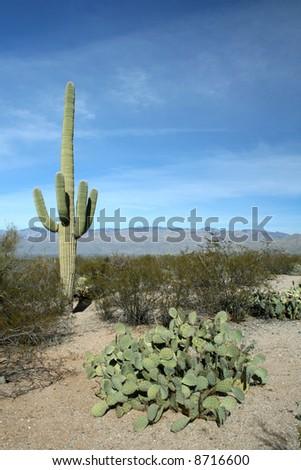 Prickly Pears and Saguaro Cactus, Saguaro National Park, Sonoran Desert, Tucson, Arizona