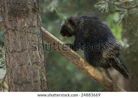 Prickly porcupine climbing up a tree