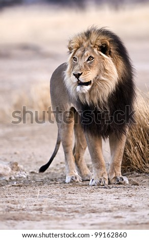 Pride of Africa - stock photo