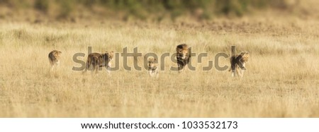 Pride of lions walking through the grasslands of the Masai Mara.There is an alpha male, three lionesses and a younger cub. Popular social media banner dimensions.