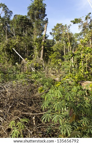 Primary rainforest in Ecuador cut for subsistence farming - Cassava plant growing in foreground.