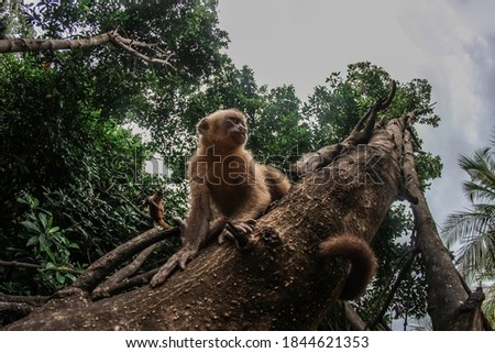 Primates in natural habitat - Monkeys hanging from riparian tree Photo stock ©