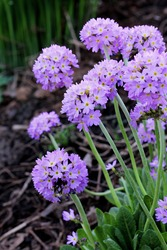 Primrose blooms in the garden, Primula Denticulata. Blue and purple