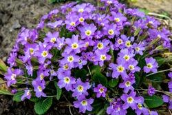 Primrose, Detail of flower of Primula vulgaris. The common primrose or English primrose, European healthy flowering. Herbal medicine. Primroses in spring. The beautiful colors primrose flowers garden.