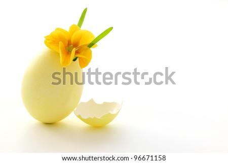 Primrose in easter eggshell