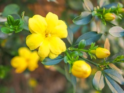 Primrose Jasmine or Jasminum mesnyi, bright yellow flowers, close up. Japanese or Chinese jasmines is woody vine, deciduous shrub, evergreen, flowering plant in the olive family, Oleaceae, Jasmineae.