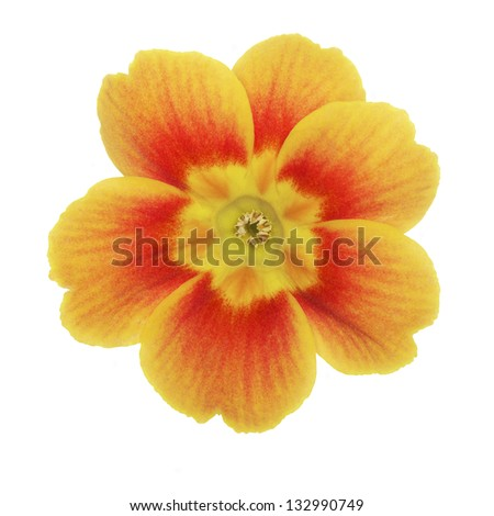 Primrose on white background