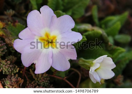 Primrose or common primrose or English primrose (Primula vulgaris) pink flowers close up #1498706789