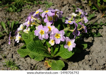 Primrose or common primrose or English primrose (Primula vulgaris) pink flowers close up #1498706792