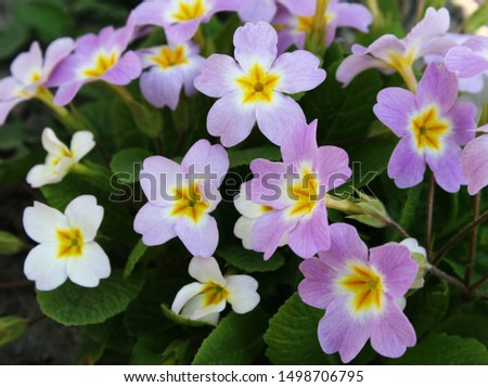 Primrose or common primrose or English primrose (Primula vulgaris) pink flowers close up #1498706795