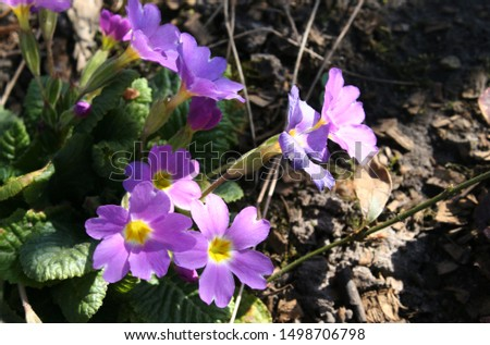 Primrose or common primrose or English primrose (Primula vulgaris) pink flowers close up #1498706798