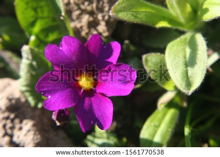 Primrose or common primrose or English primrose (Primula vulgaris) purple flower close up #1561770538