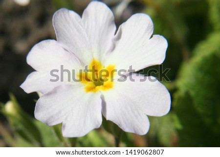Primrose or common primrose or English primrose (Primula vulgaris) white flower close up #1419062807