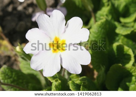 Primrose or common primrose or English primrose (Primula vulgaris) white flower close up #1419062813