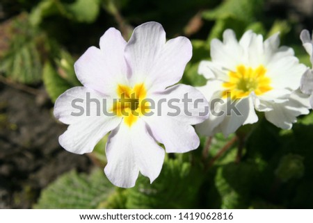 Primrose or common primrose or English primrose (Primula vulgaris) white flowers close up #1419062816