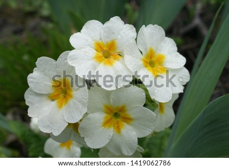 Primrose or common primrose or English primrose (Primula vulgaris) white flowers with drops of dew close up #1419062786