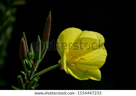 Primrose or Evening Primrose Oil. The plant, native to North America, has yellow flowers that open at night. Traditionally used different parts of the plant, like the leaves and roots, for medicine. #1554447233